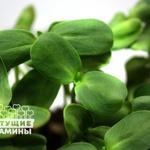 Подсолнечник Семена для выращивания микрозелени