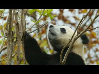 Wild China with Ray Mears: Season 1 Episode 3 «China's Pandas» (itv HUB 2021 UK)(ENG/SUB ENG)