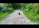 Немецкая овчарка Линда! 7 месяцев! Команда лежать с котами! Железная выдержка!