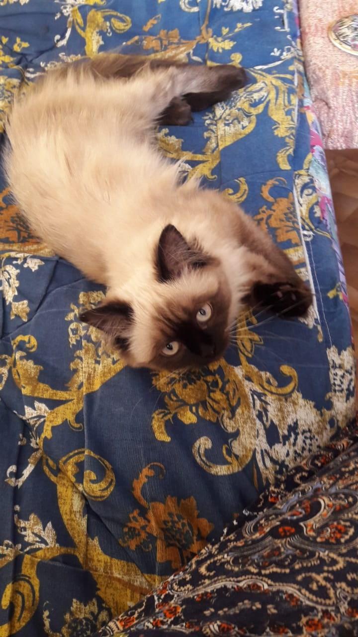 Здравствуйте,прошу помощи! 11.04.21 пропала кошечка Лиза,5 месяцев,порода Невская