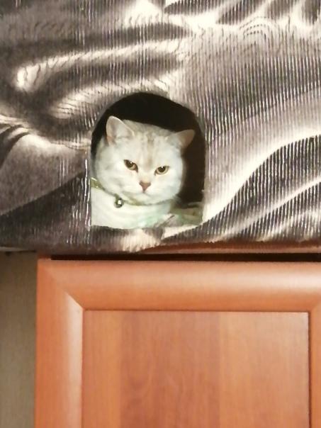 Нужен кот Британец или Шотландец для кошки, на Вос...
