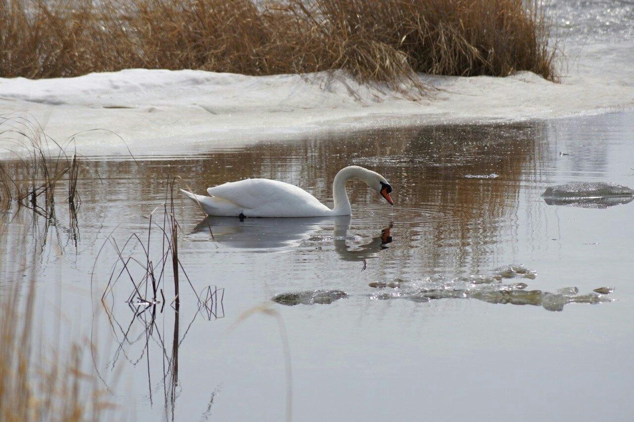 Живые и дикие: где детям можно показать лебедей