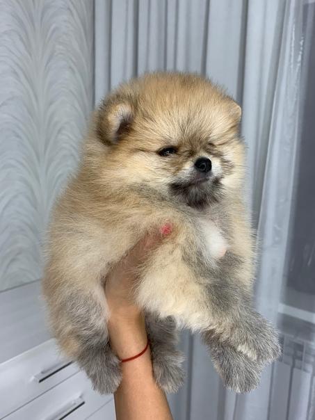 Предлагаются к продаже щенки померанского щпица, по всем ...