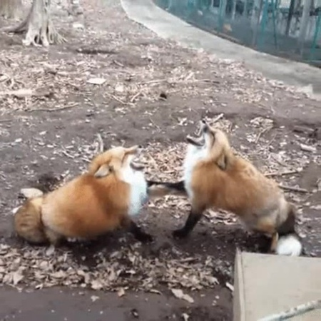 Two foxes laugh · coub коуб