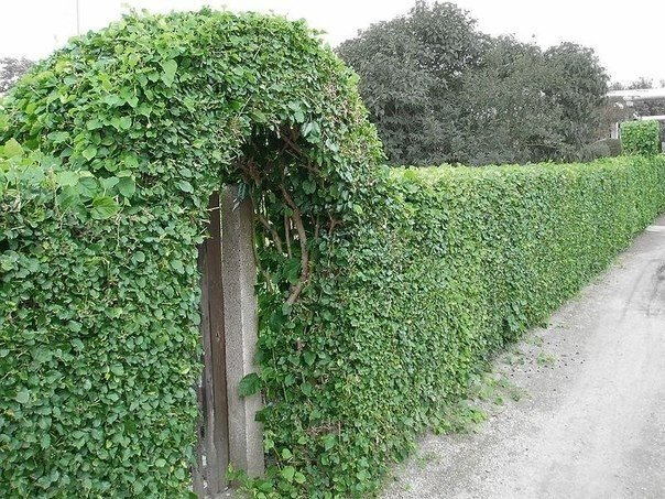 Что посадить, чтобы закрыть забор?  Наверное, разумнее всего будет...