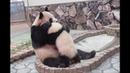 【オトナへの一歩】🐼結浜と良浜ママの日々💕【親子パンダ】Giant Panda -Rauhin Yuihin-☆Dear days…