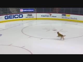 Ретривер играет на льду перед игрой в NHL
