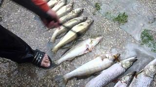 Чистка рыбы керхером. Судак, окунь, щука. быстро и качественно.
