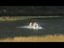 Elk Fighting in River - Yellowstone National Park