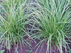 Чуфа. Выращивание земляного миндаля на садовых участках Чуфа культура перспективнаяКаждый год на своем приусадебном участке испытываю все новые и новые культуры. В моей коллекции сейчас