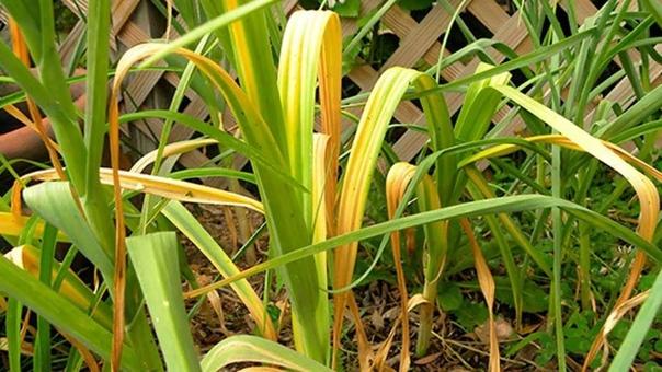 По каким причинам у лука и чеснока начинает желтеть листва
